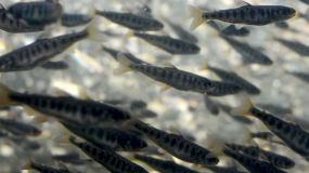 成千上万的小鱼苗在河流视频素材