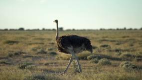 鸵鸟在大草原上行走视频素材