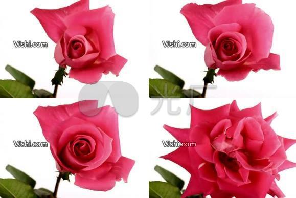 红花盛开2 玫瑰