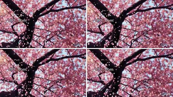 樱花花瓣飘落