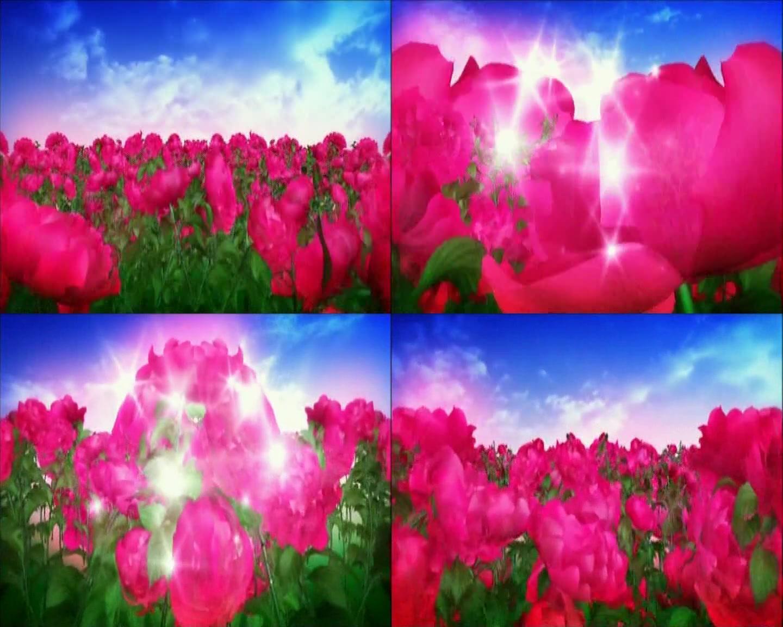 花儿红 玫瑰