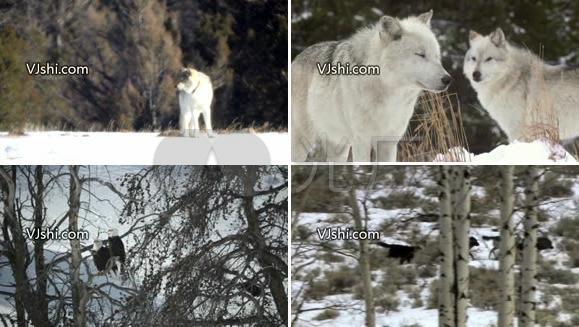 狼 狼群 纪录片