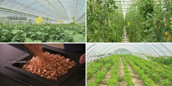 现代农业大棚蔬菜水果种植视频