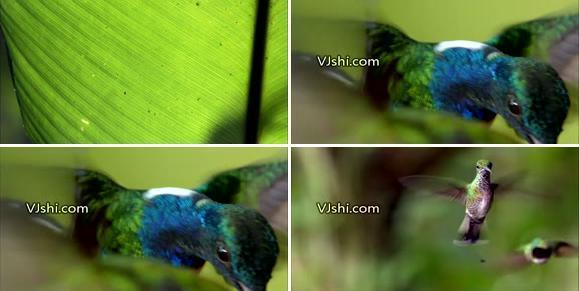 蜂鸟飞行高清实拍视频素材