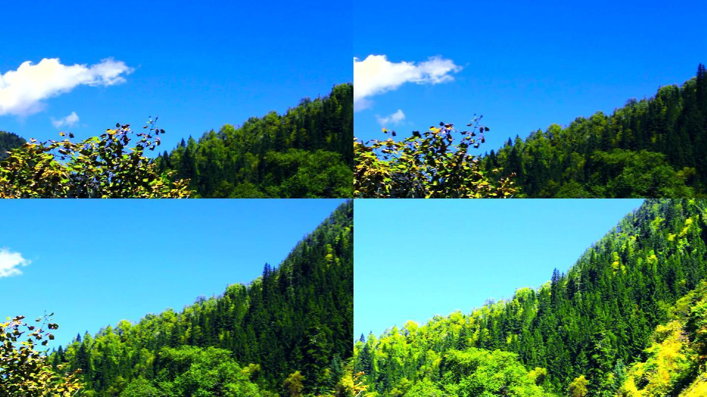 九寨沟箭竹海松树