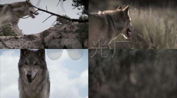 野狼视频素材_荒原狼奔跑