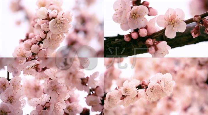 春天桃花开