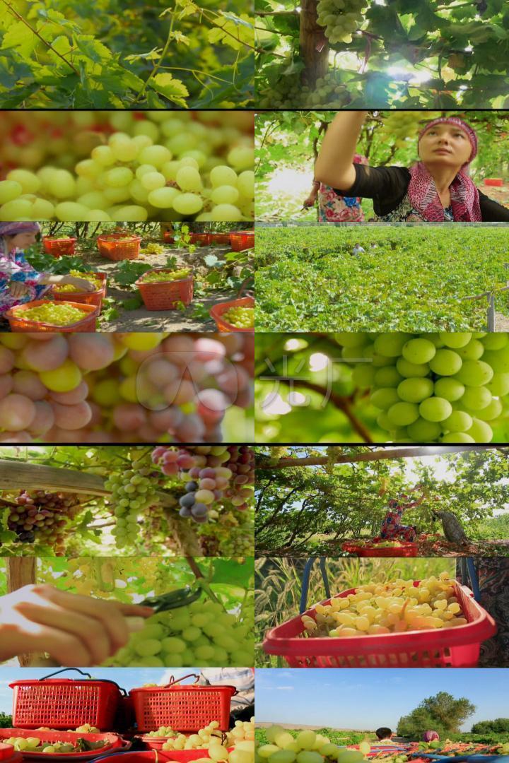 新疆葡萄红提青提葡萄园葡萄基地