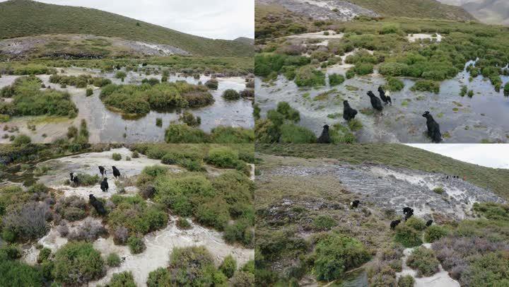 高山湿地航拍牛群奔跑