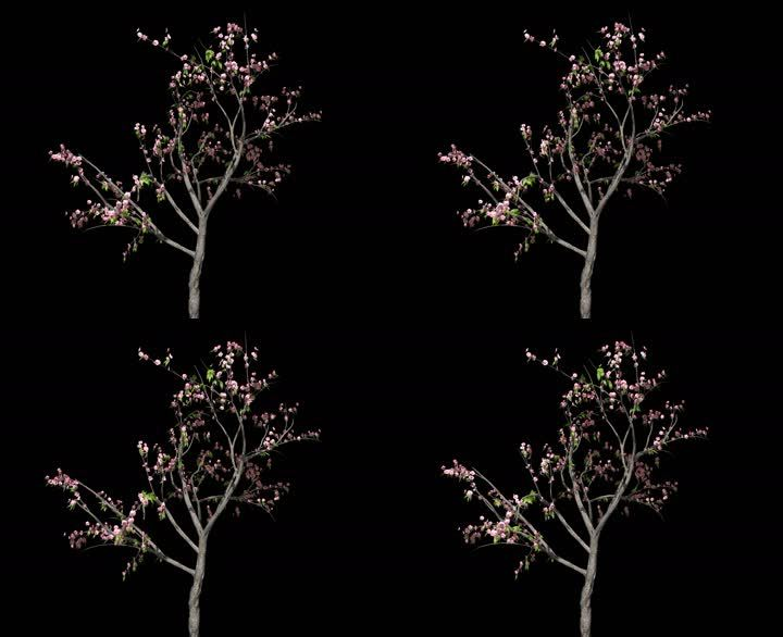 桃花树——植物摇曳动画带通道