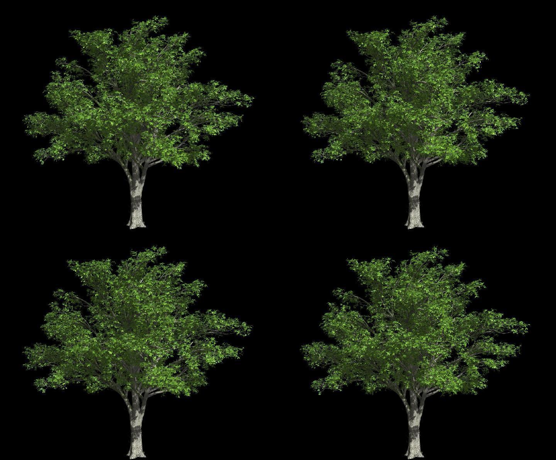 树木摇曳动画带通道-大树