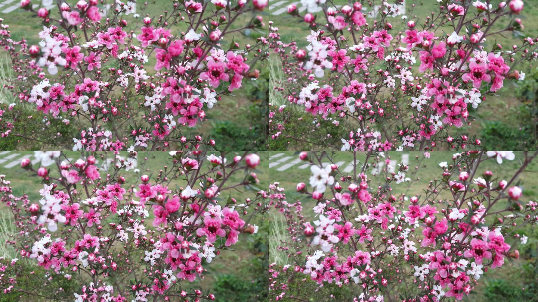 4k松红梅