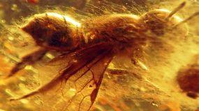 【视频】蜜蜂琥珀视频素材