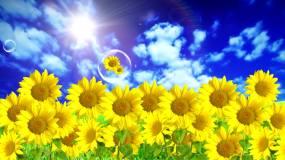 蓝天下的向日葵LED高清视频视频素材