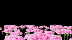 康乃馨花海穿行无缝循环-alpha通道视频素材