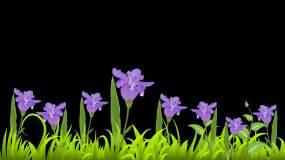 紫百合百合花前景动画-alpha通道视频素材