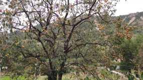 柿子树柿子熟了视频素材