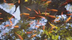 4K锦鲤-金鱼-唯美金鱼戏水-中国风视频素材