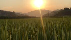 农村黄昏稻谷禾苗太阳下山视频素材
