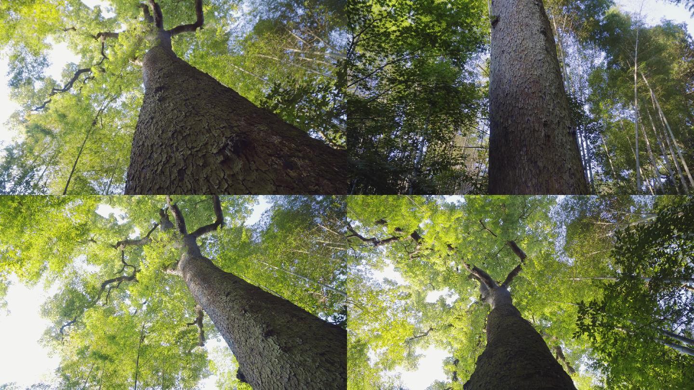 4K参天大树-枫香-高耸入云的枫香古树