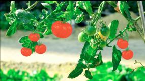 田园果蔬-健康自然-绿色食品-健康生活视频素材