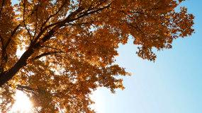 4k秋天黄叶树_秋季树木美景风景风光视频素材