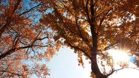 4k秋天黄叶树_秋季树木美景蓝天树叶树林视频素材