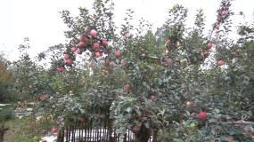 富硒红富士苹果苹果树永利官网网址是多少