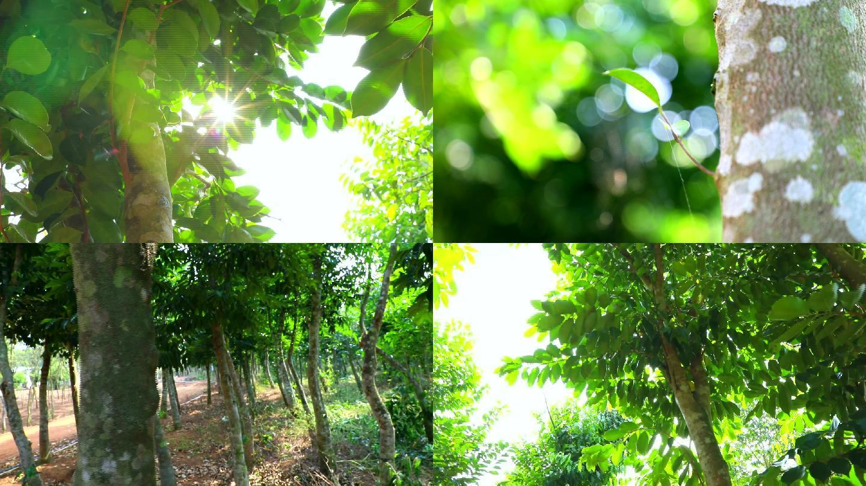 沉香树高清实拍
