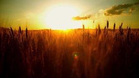 黄昏金色阳光下的麦穗视频素材