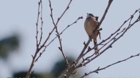 冬天树枝小鸟鸣叫视频素材