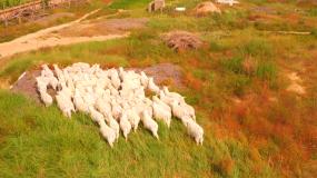 4K羊群荒漠化沙漠牧场圈养放养视频素材