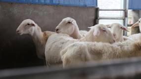 实拍畜牧业牛羊养殖视频视频素材