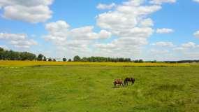 4K草原马匹马群马吃草视频素材