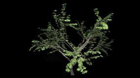 树木生长动画带通道视频素材