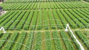 4k菊花种植基地航拍视频素材