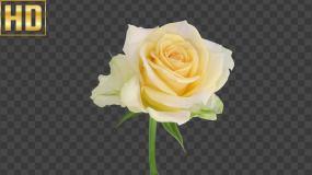 玫瑰绽放2-延时摄影-alpha通道视频素材包