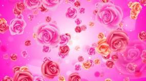 玫瑰花情人节视频素材