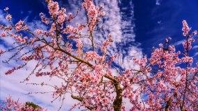 樱花盛开春暖花开延时实拍视频素材