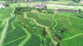 茶叶之乡视频素材