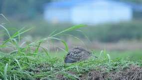 翠鸟十视频素材