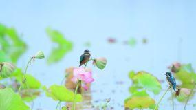 翠鸟二视频素材