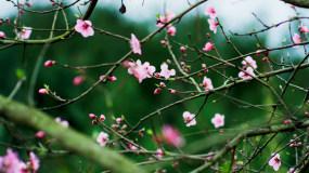 4K【A】桃花盛开,广告画质视频素材