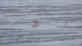 海岸鸟类栖息地小虾贝类鸟觅食休息迁徙鸟类视频素材