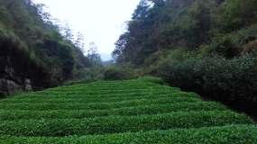 茶山航拍视频素材