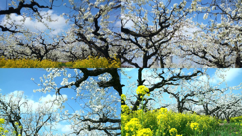 春天梨花素材