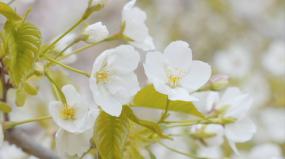 4K春天樱花-清新自然-美丽淡雅视频素材