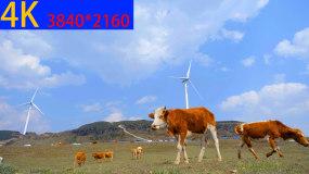 4K牛吃草视频素材