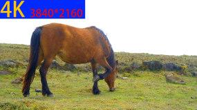 4K马吃草视频素材