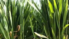 农村麦地麦苗视频素材